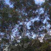 Big Gum Trees