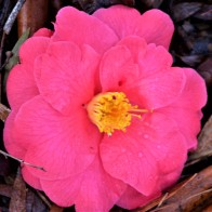 Camellia - Pink Yellow