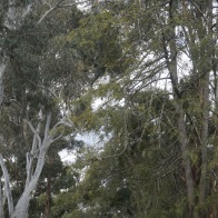 Gum Trees up High