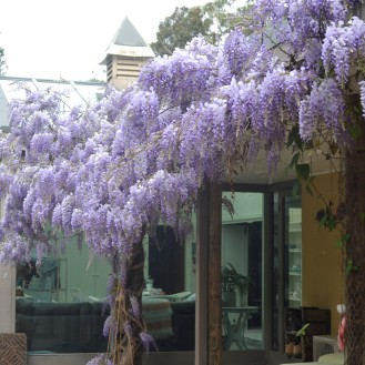Wisteria out the back in bloom and bees!