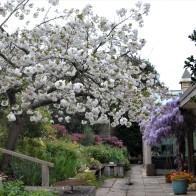 Wisteria & Cherry Blossom