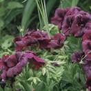 Geraniums - Burgundy