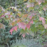 Elm Tree getting ready for Autumn