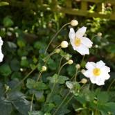Japanese Windflower - Anemone